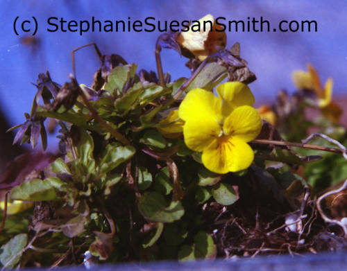 Beautiful flowers: Small Yellow Viola
